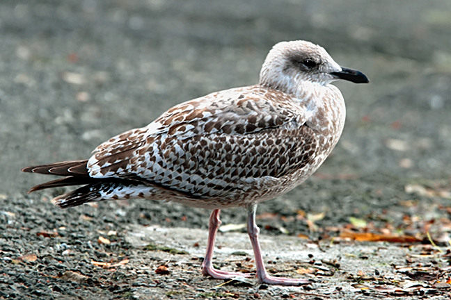 Juvenile Herring Gull | Flickr - Photo Sharing!